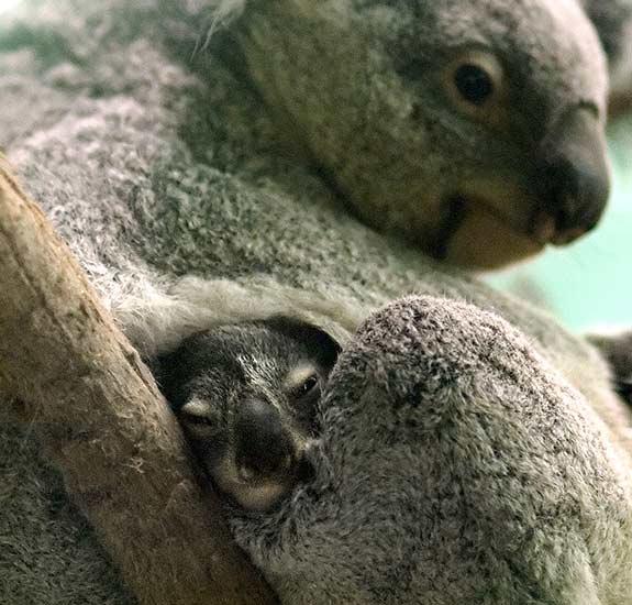 bolsa del Koala SJ.jpg