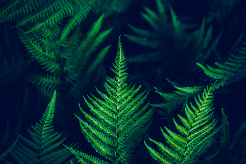 Ferns2.jpg