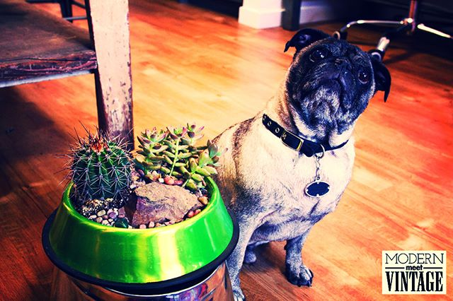 Edgar loves his Corona Lime DIY Succulent Dog Bowl Kit as much as he loves afternoons in the dog park (which is a lot)! The kit is a fantastic addition to any home, a perfect birthday gift or a beautiful way to honor the life and legacy of a furry friend. For every kit that is purchased we make a donation to an organization making a difference. Visit the link in our bio to buy.
