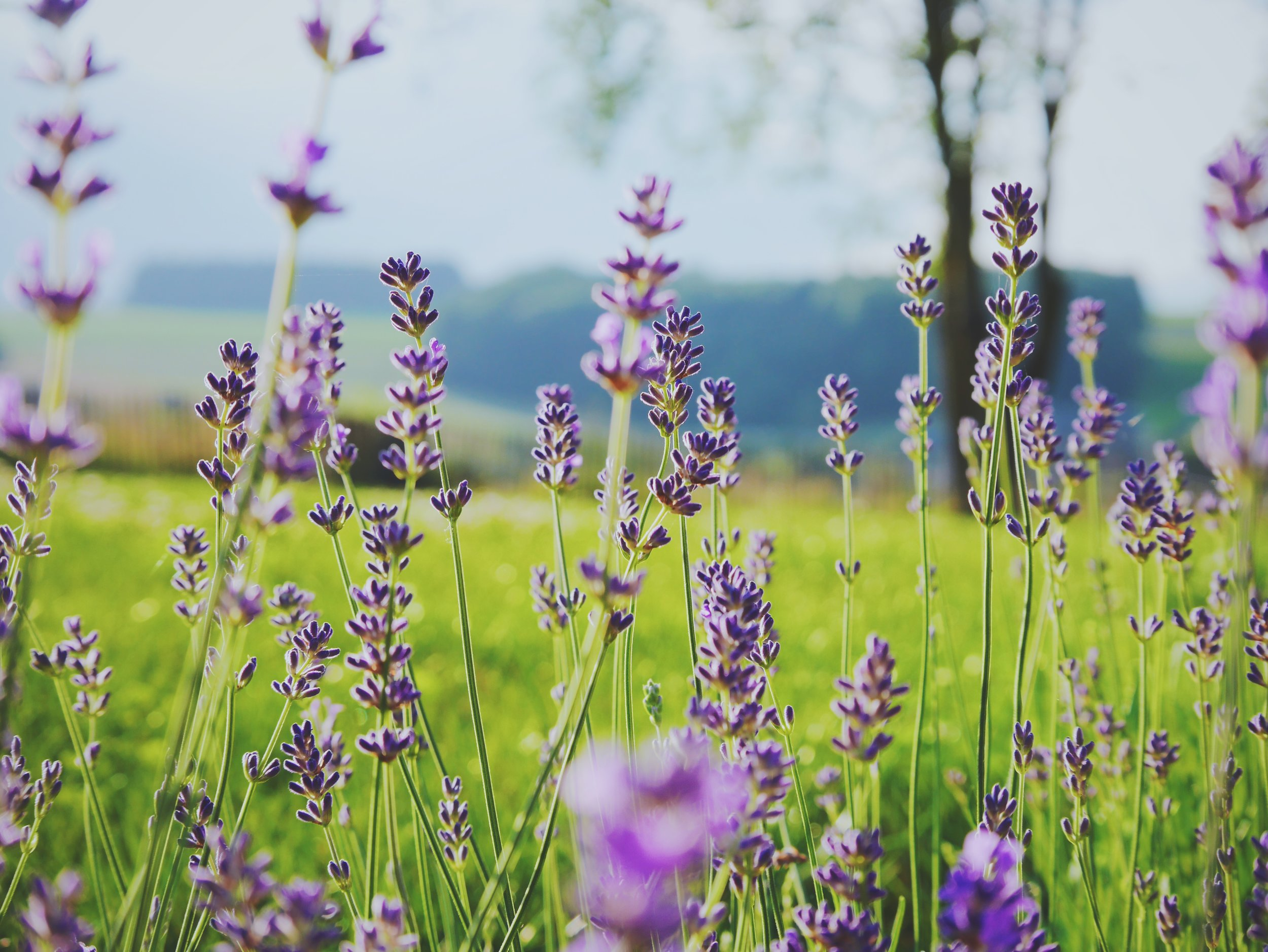 Organic Lavender Oil - its soothing, healing properties have the ability to balance sebum production and repair damaged skin. The fresh scent has a relaxing and calming effect.