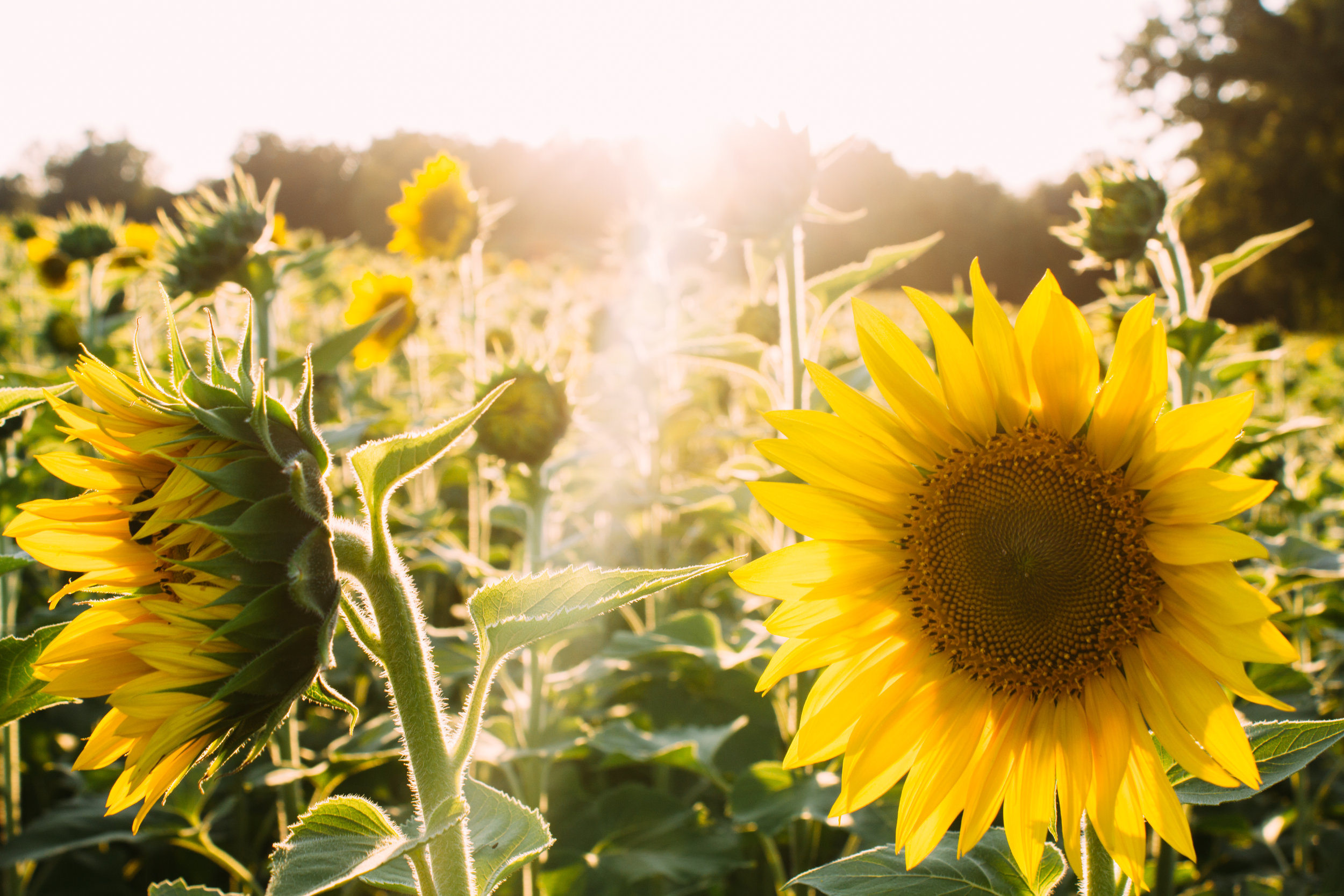 Organic Sunflower Oil - for its ability to draw out dirt and impurities from the skin. Rich in vitamin E, omega 3 and 6 and beta-carotene, helps to neutralize free radicals which can damage the skin and lead to premature aging.