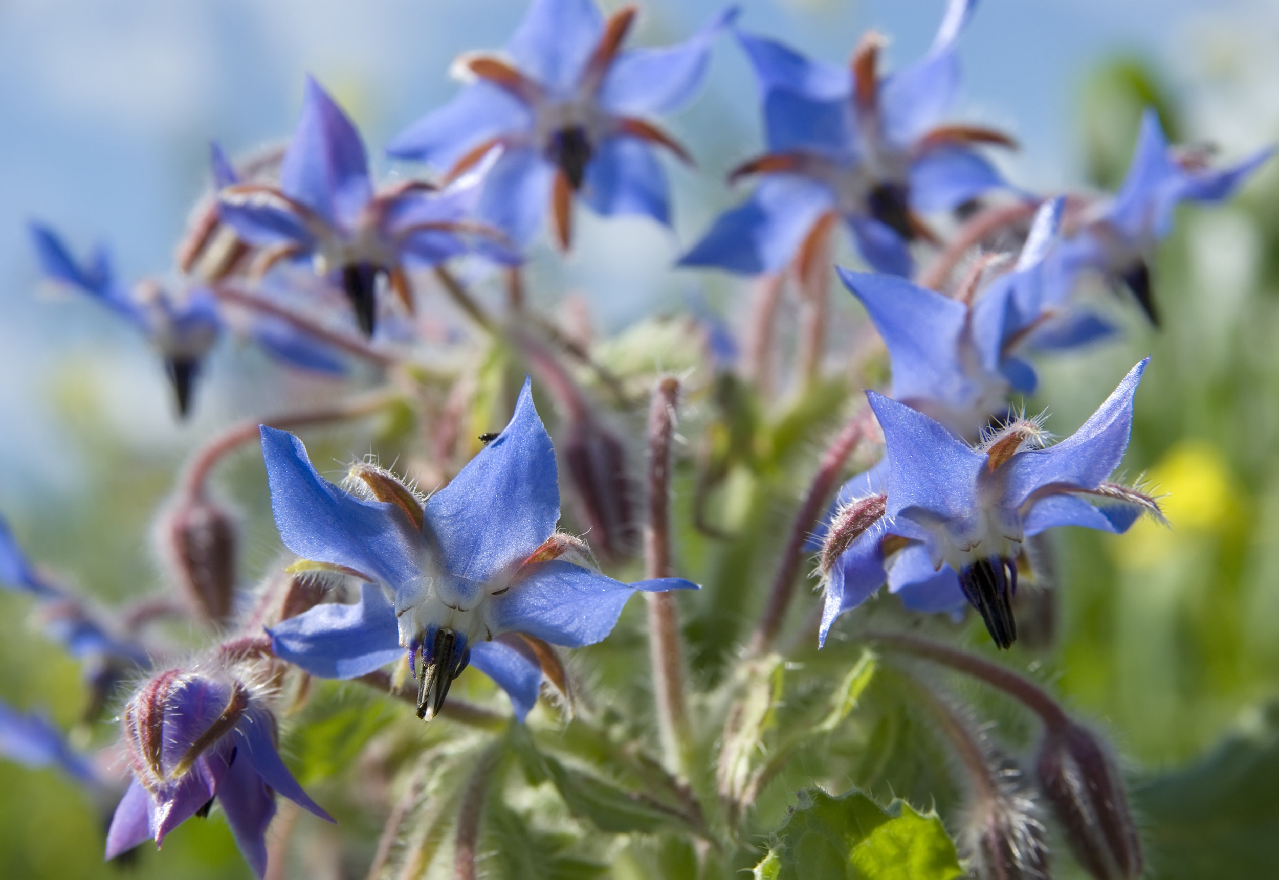 Borage Oil - rich in omega 6 aiding in improving damaged, irritated skin. This oil also contains ferulic acid which is a more effective anti-oxidant than Vitamin E. This helps the oil to soothe and moisturize skin; repair light and weather induced skin damage; reduce itching and inflammation; and may reduce skin aging.