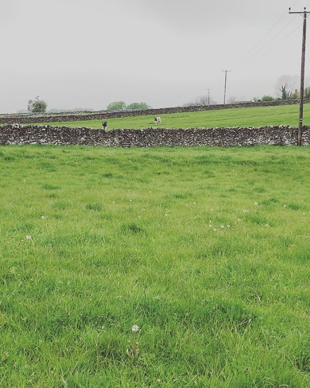 Out here playing to any poor soul who will listen. 🐄 #eatmorchikin #peakdistrict #countryside #seeyacow