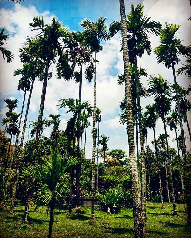 Our betel nut grove in between Villa Padimunu and Villa Panchavatti. . . . #boutiquevilla #luxuryvilla #indiatravel #goaindia #goatravel #betelnut #resortphotography #travelindia #weekendgetaway