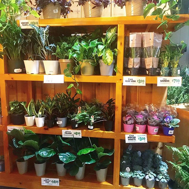 You know I had to stop and take a picture of these beauties in the middle of the store 😂💚🍃 #houseplantlove #fortheloveofplants  #greenthumb #houseplants #africanviolets #naturephotography