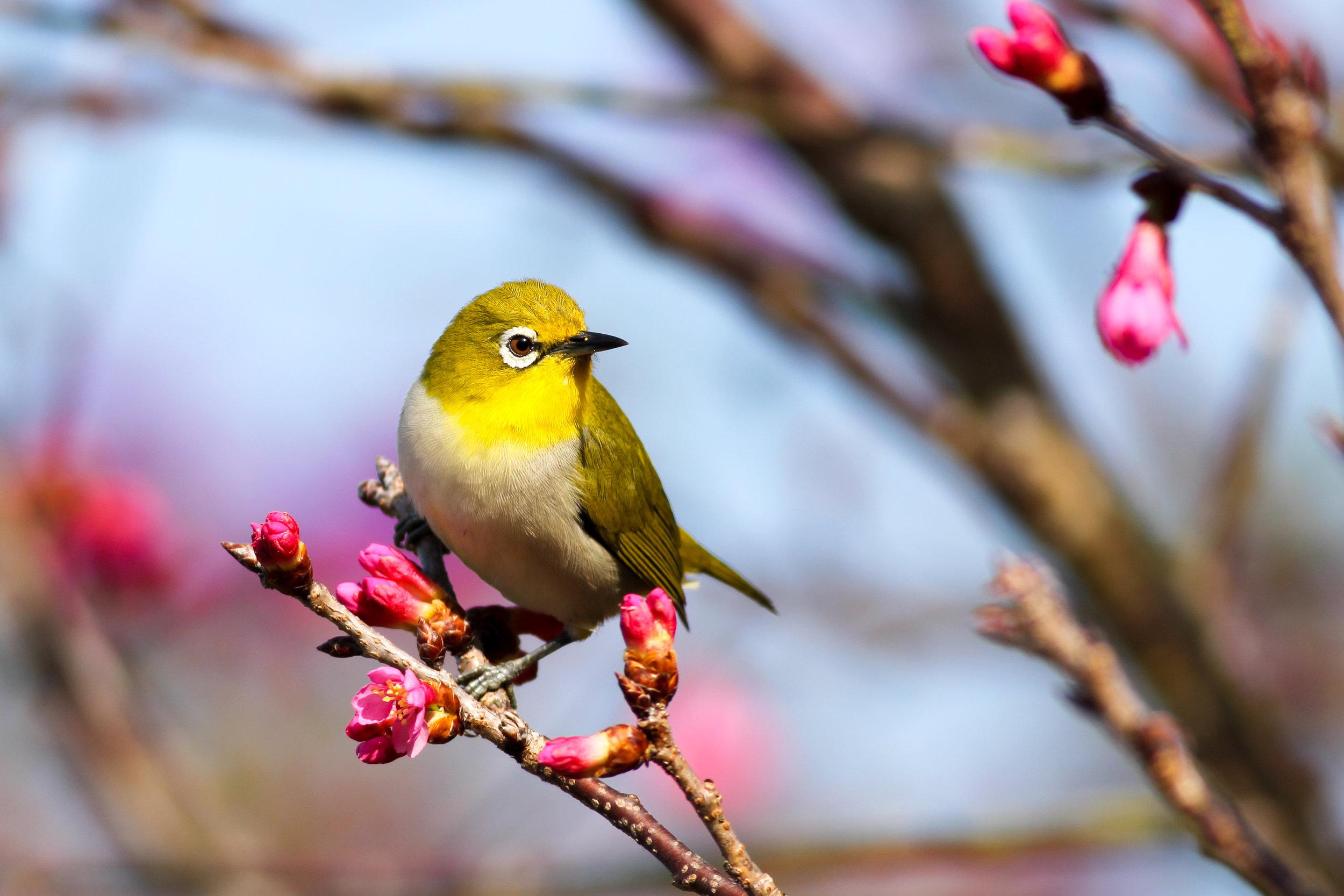 songbirds for backyard