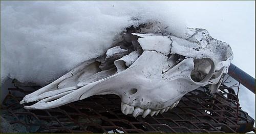Moose skull. Wolf winter kill.