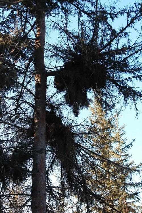 spruce%2Bmistletoe.jpg