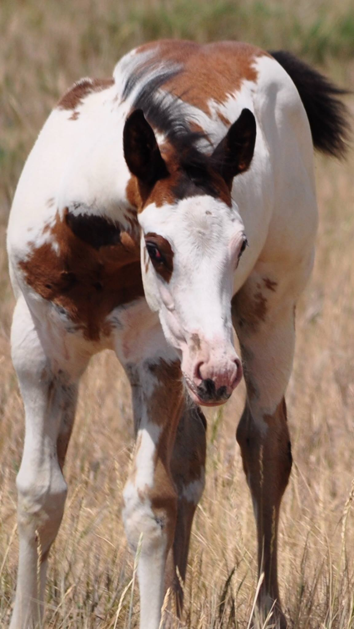 One of Jack's colored foals now owned by Candice and Tommy Thompson.