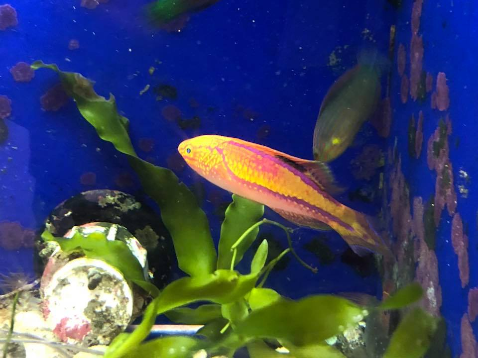 PIN-TAIL WRASSE (SUPER MALE)