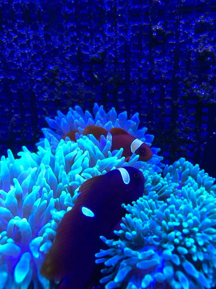 yellow striped maroon clowns in anemones