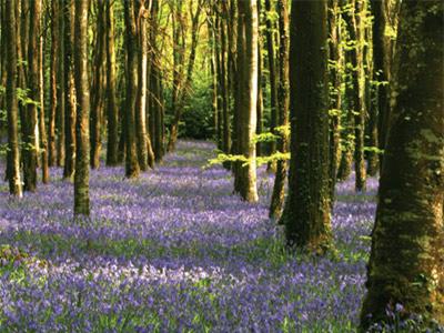 Killinthomas Woods, Co Kildare.jpg