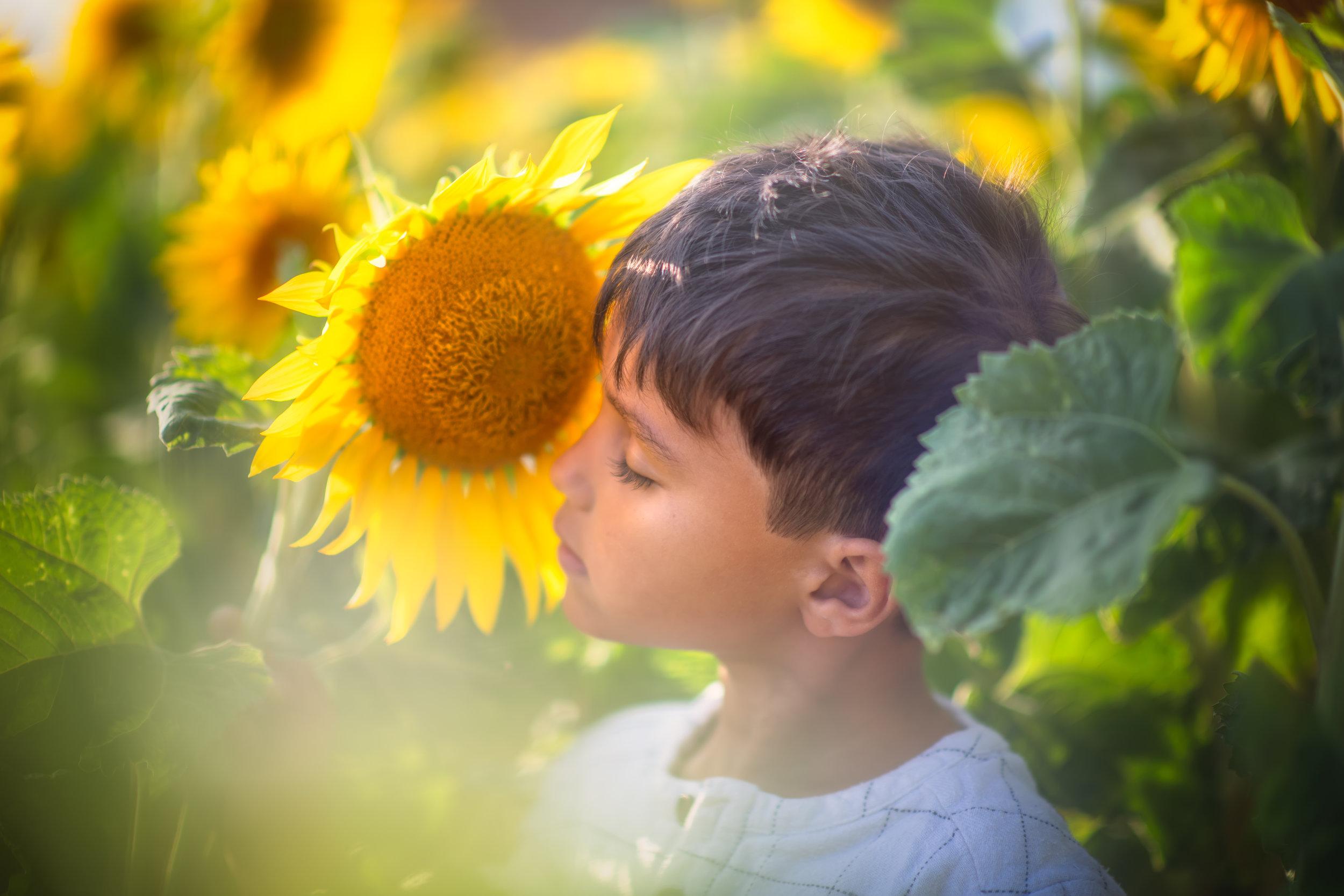 writtle_sunflower.jpg