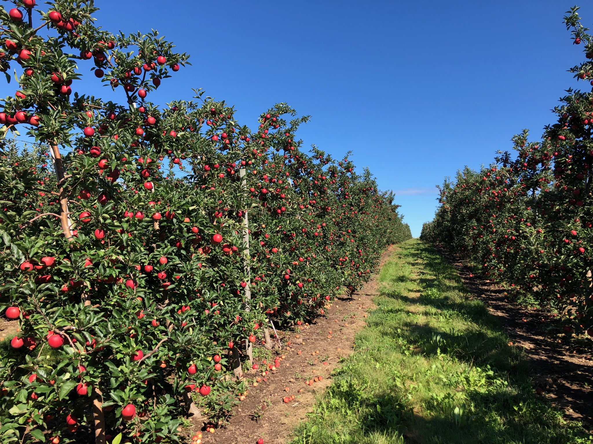 We grow more than 27+ apple varieties here at Abendroth's Apple Ridge Orchard