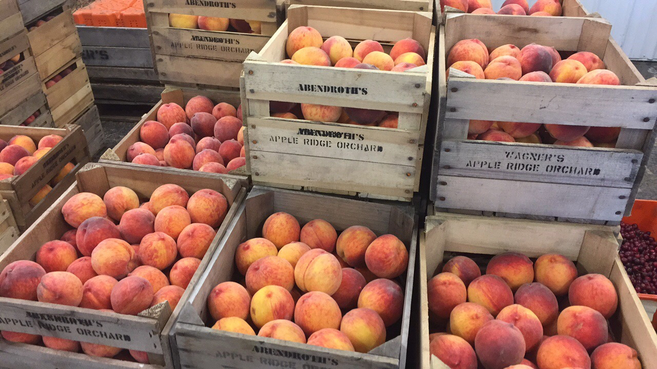 Peaches here at Abendroth's Apple Ridge Orchard