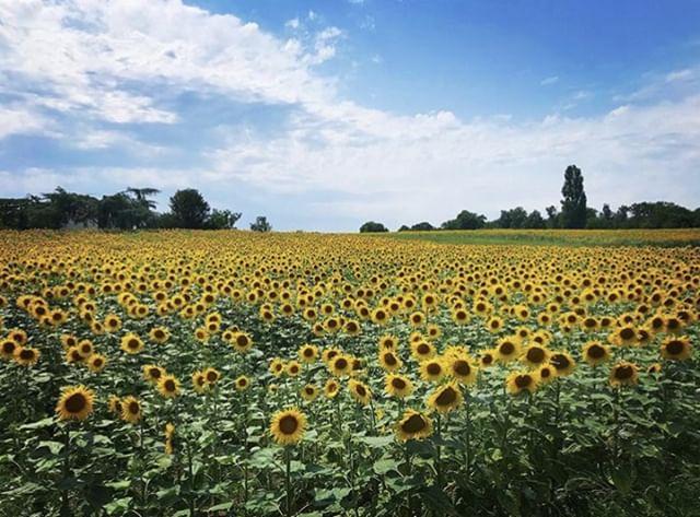 🌻🌻🌻 📸: @cascomar repost @cognac_official #cognac_official #cognac #cognacUSA #CraftSpirits #Craft #Spirits #Drink #Imbibe #cognacstyle #cognaclife #cognacLover #ExperienceCognac #VisitCognac #hercognac #vineyards #terroir #Charente #flowers #sunflowers