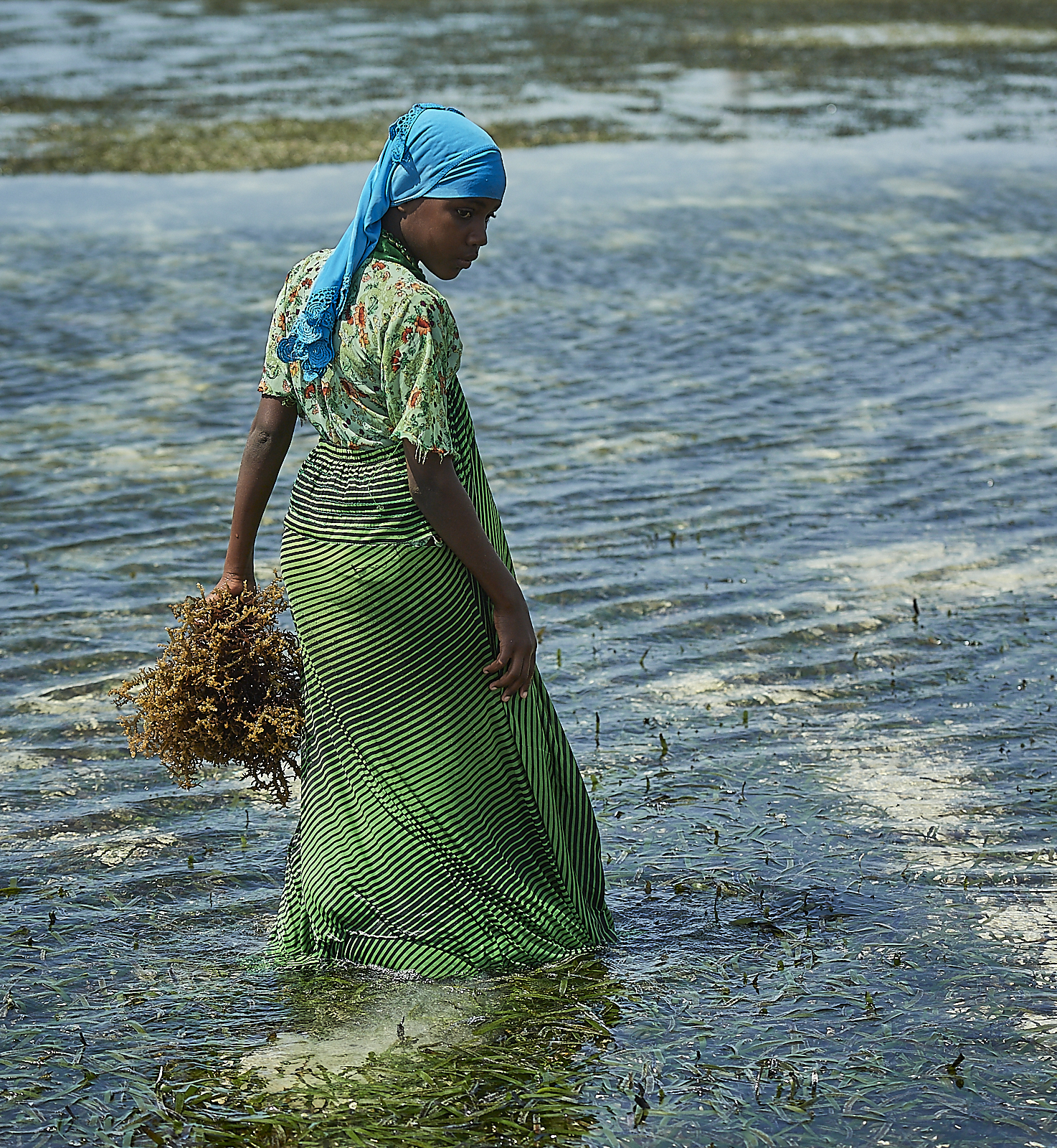following a storm, seaweed gets ripped from the farms and carried along the water.  the first task of each day is to walk around and collect separated seaweed to return to the farm