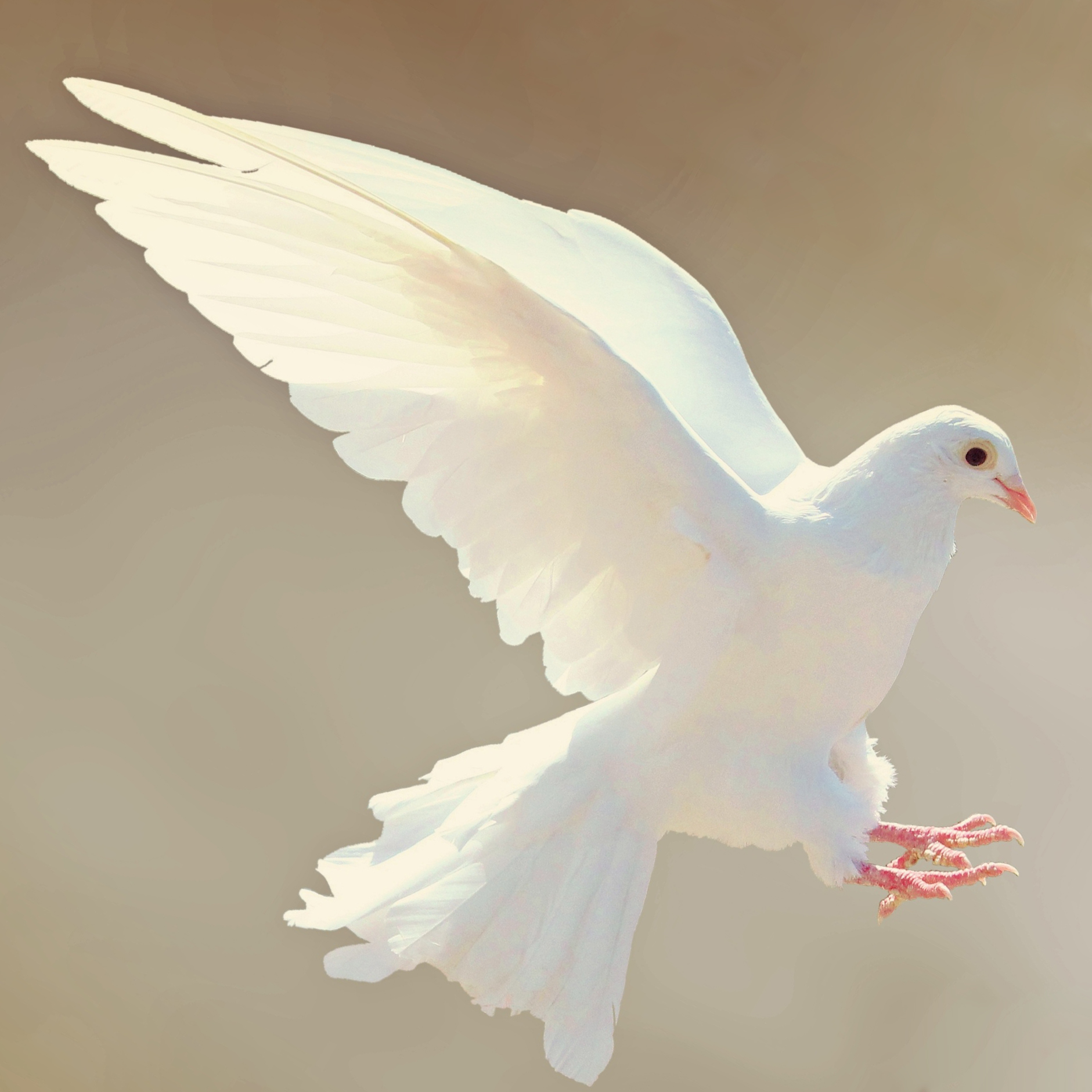 dove-2516641.jpg