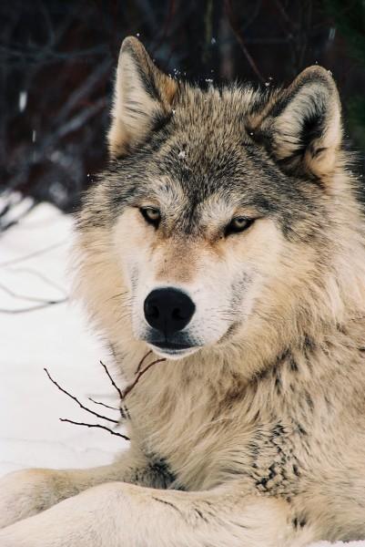 Sawtooth Wolf