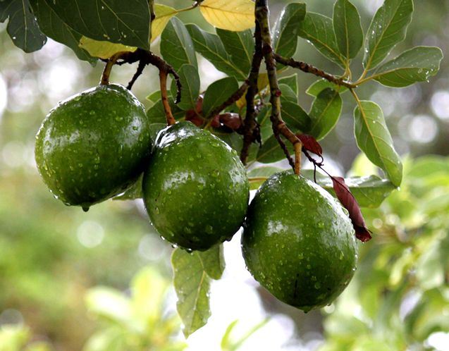 Avocados hanging on a tree