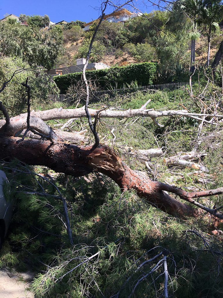 Birch trees flattened