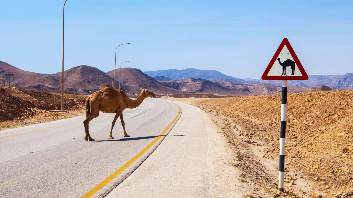 Why did the camel cross the road?