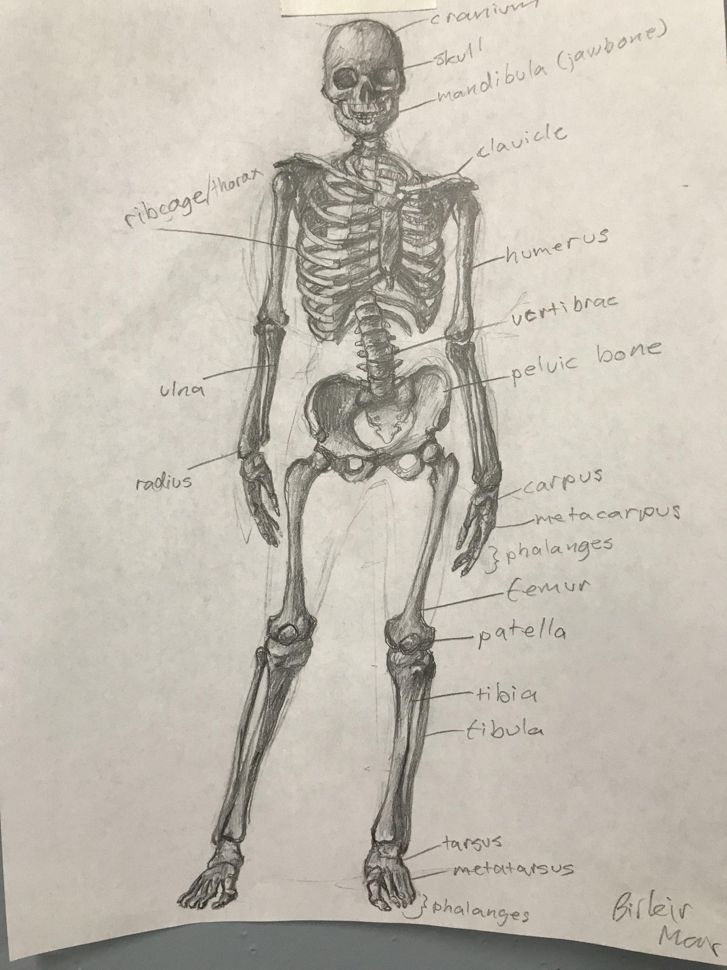 Skeleton by Birkir Hjaltsted, Drawing for Cartoonists 2018 - 2019
