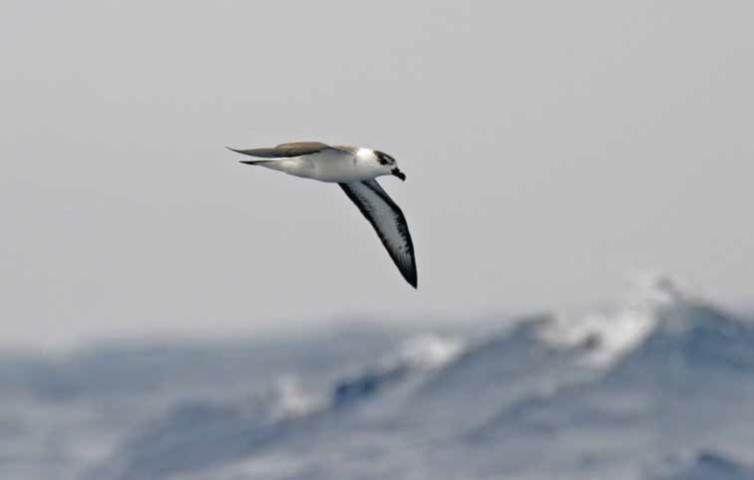 Black Capped Petrel or Diablotin flying over the ocean off North Carolina