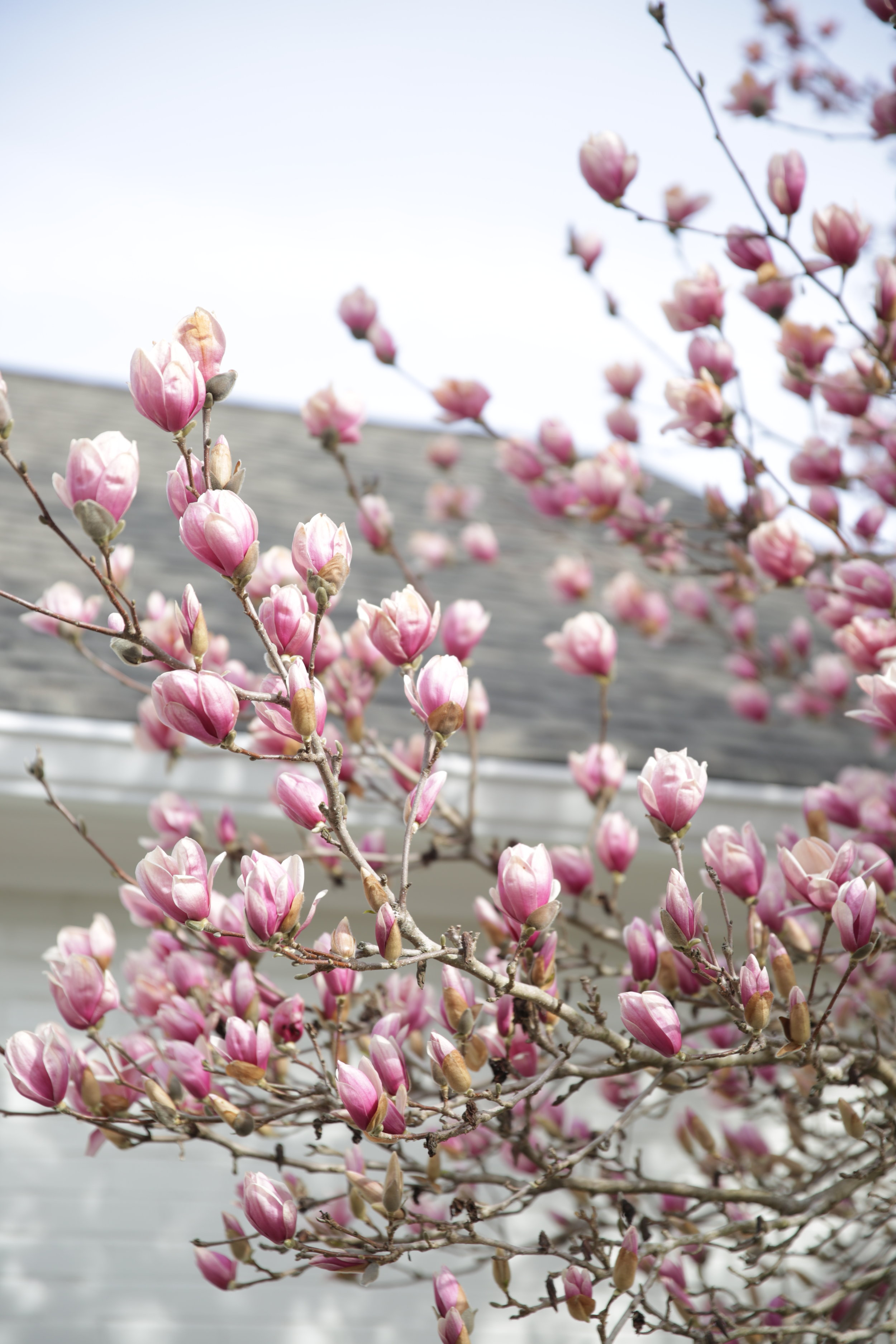 Our flowering magnolia tree started blooming last month!