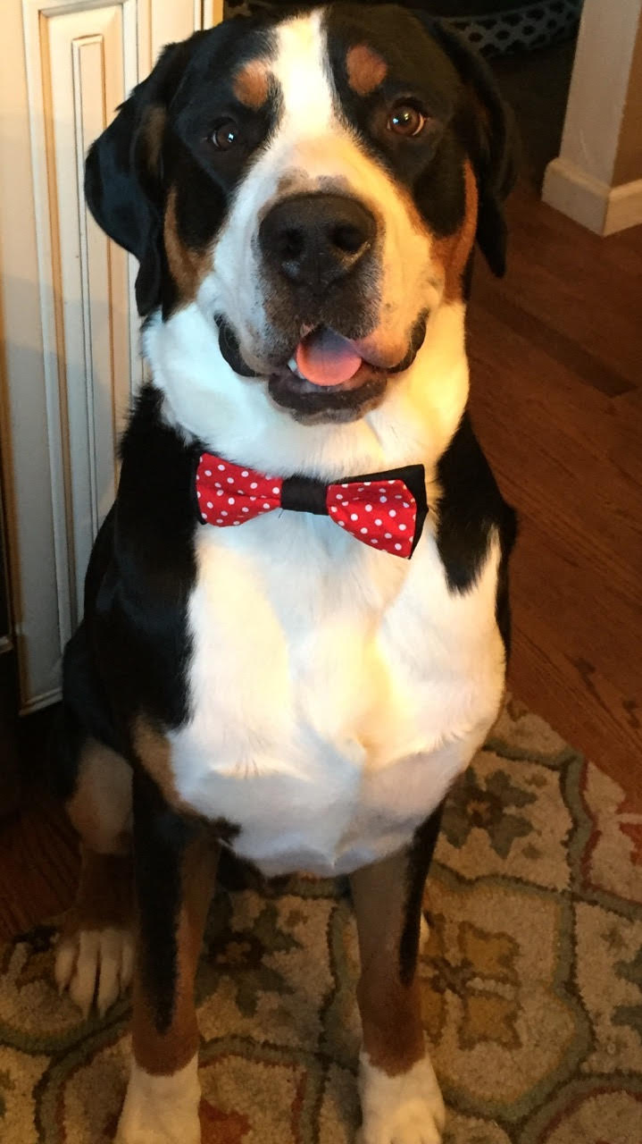 Here is another photo of Blaze sporting his signature look - the bow tie! A true Southern gentleman!