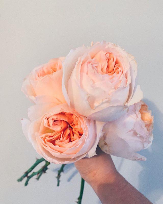garden roses make me feel alive ❤️❤️❤️