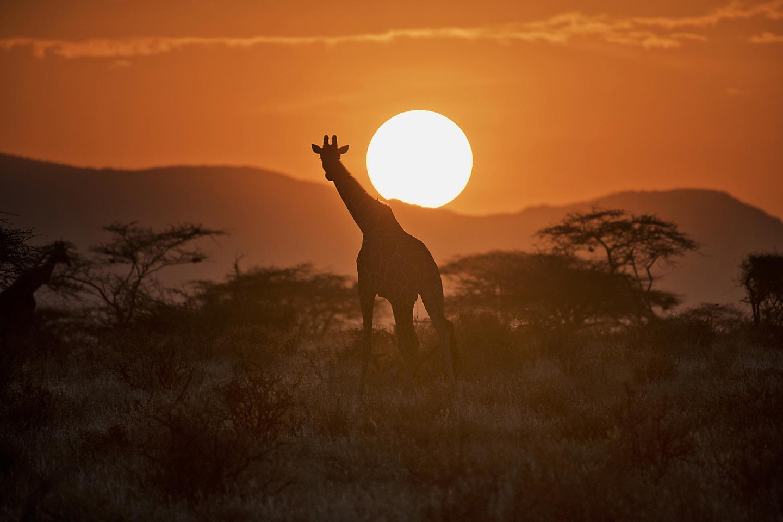 Layne Kennedy-Giraffe Samburu-Kenya_LCK2160.jpg