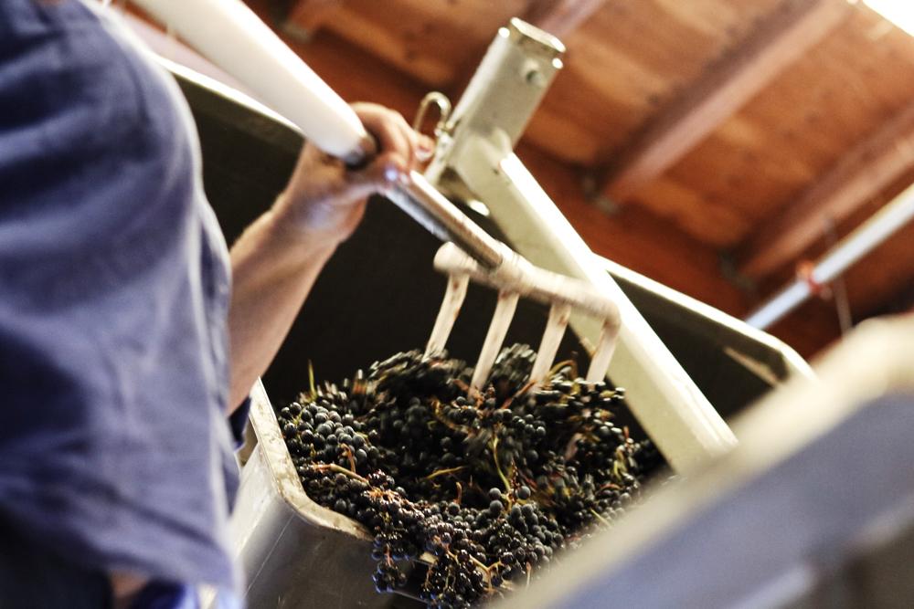 Pressing Grapes Harvest 2017.jpg