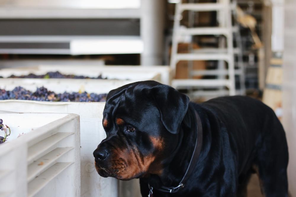 Ollie Winery Dog Harvest 2018.jpg