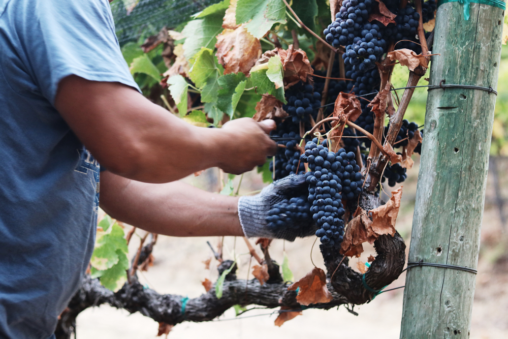 Picking Coombsville Shearer Vineyard 2018.jpg