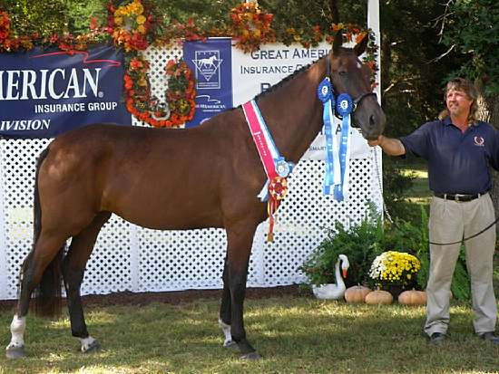 ISABELLA-GERMAN OLDENBURG MARE BY LE SANTO OUT OF IVY LEAGUE BY ROEMER