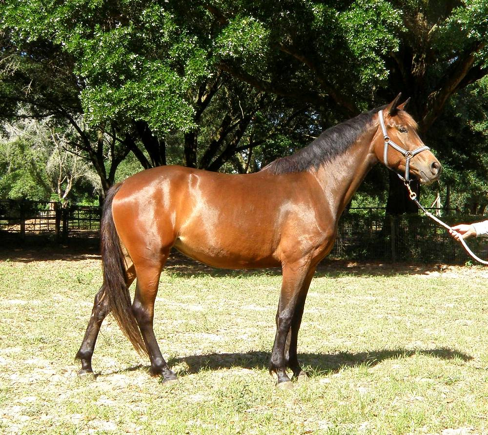 IVANICA FLF-GERMAN OLDENBURG MARE BY VINCA OUT OF ISABELLA LE SANTO/ROEMER