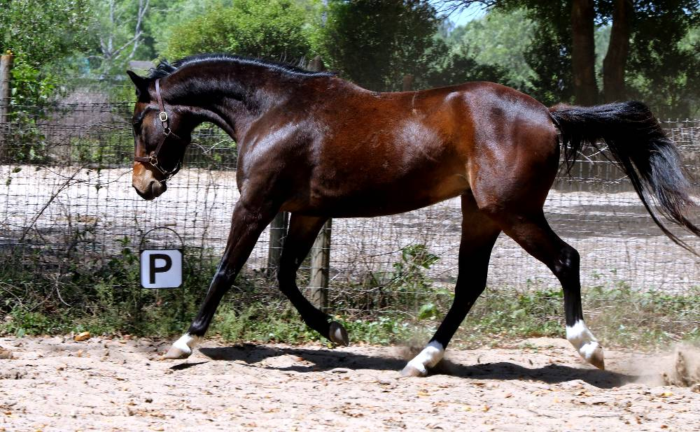 LAZERATI FLF-WARMBLOOD GELDING FOR SALE BY LE ANDROS (LE SANTO) OUT OF COURTASH KOTTON KANDY BY COURTASH KARNIVAL