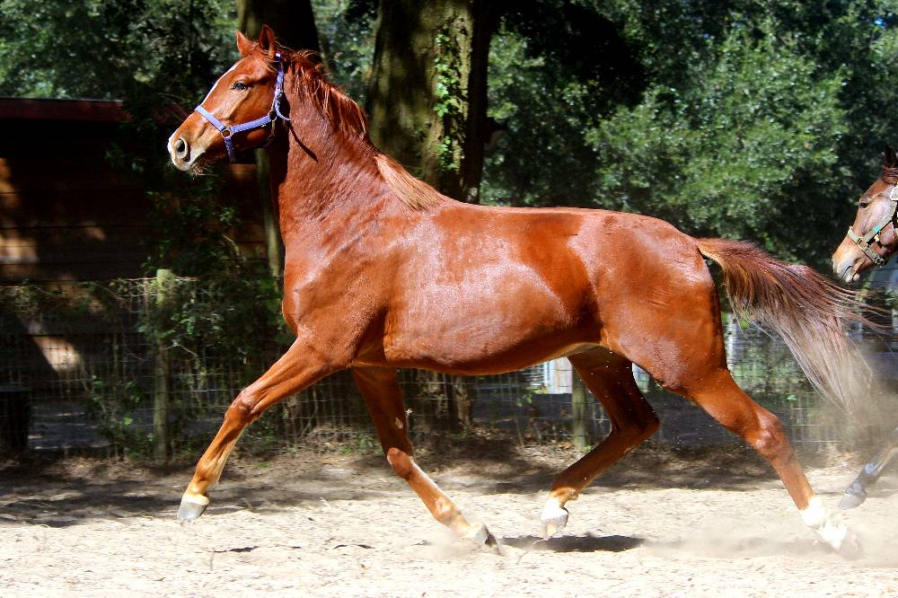 LONDON FOG FLF- GERMAN OLDENBURG GELDING BY LONDONDERRY OUT OF ISABELLA -LE SANTO/ROEMER