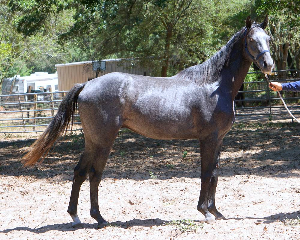 ROLLIN HONOR -THOROUGHBRED SHOW PROSPECT BY VALUE PLUS OUT OF HIGH ROYAL HONOR BY HONOR GRADES