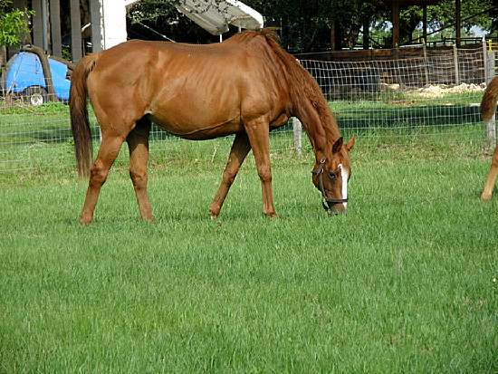 SHE'S SILVER -STAKES PRODUCING THOROUGHBRED BROODMARE BY SILVER HAWK OUT OF GUILTY MISS BY MR. REDOY