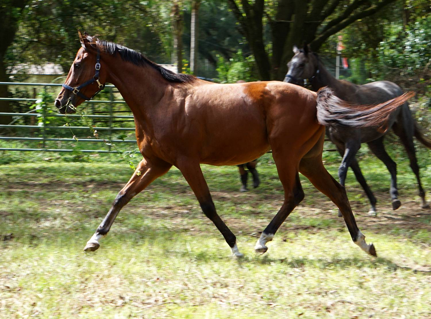 THOROUGHBRED GELDING BY STRAIGHT MAN OUT OF STAKES PLACED MARE CITY PRO BY FORTUNATE PROSPECT - EVENTING PROSPECT FOR SALE