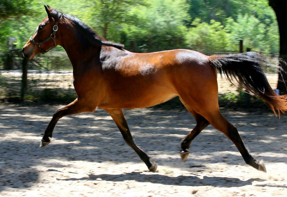 CAROUSEL FLF-2015 a WARMBLOOD MARE FOR SALE BY LE ANDROS (LE SANTO) OUT OF COURTASH KOTTON KANDY BY COURTASH KARNIVAL
