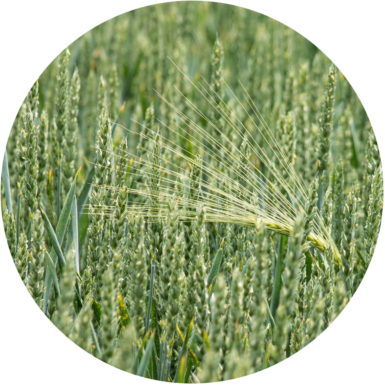 wheat-circle.png