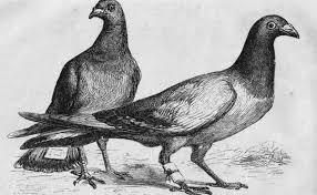MED Pigeons rump cure.jpg
