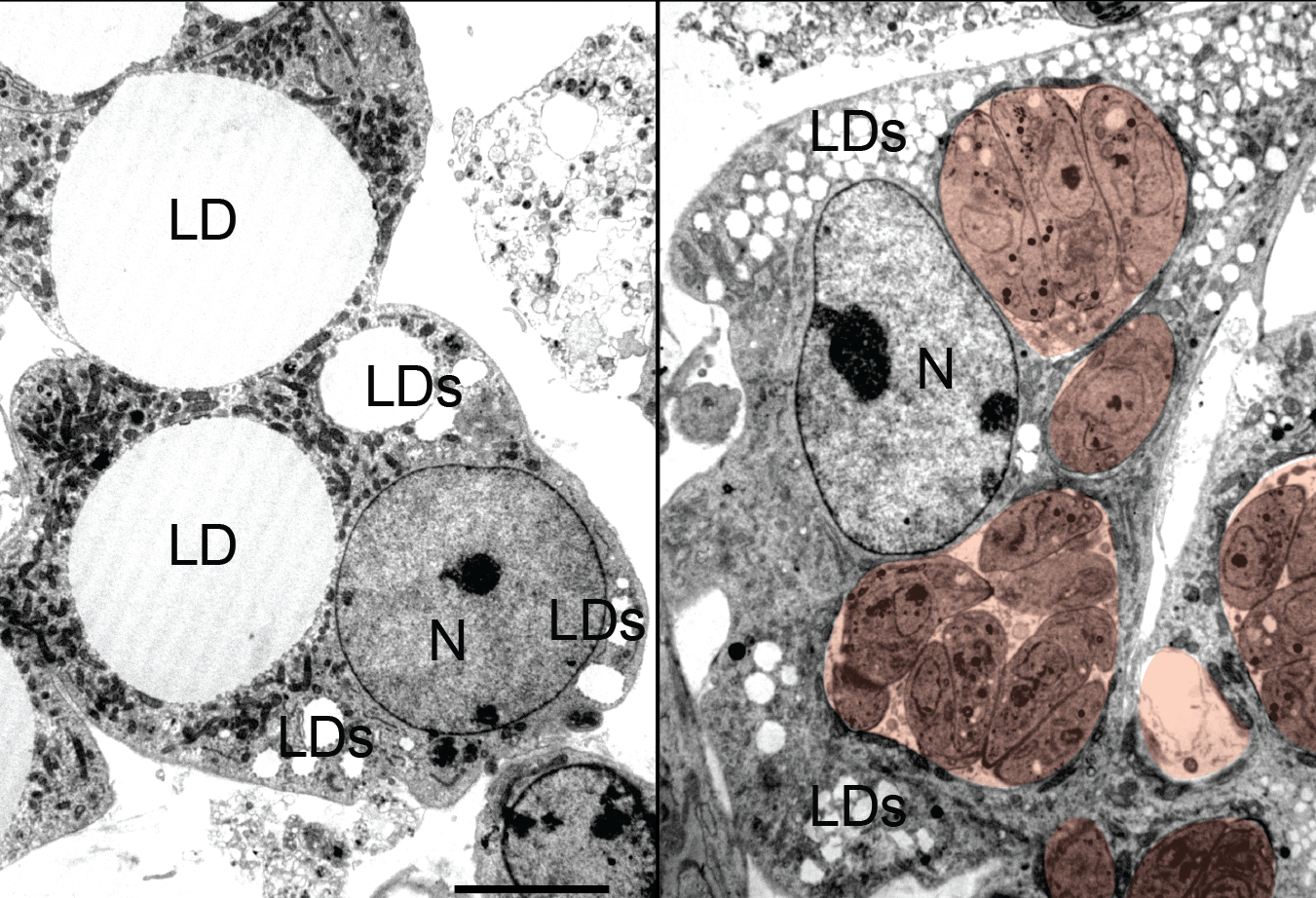 Uninfected (left) and  Toxoplasma -infected (right) adipocytes. Parasite vacuoles are pseudocolored red, scale bar 5um. N-nucleus, LD-lipid droplet.