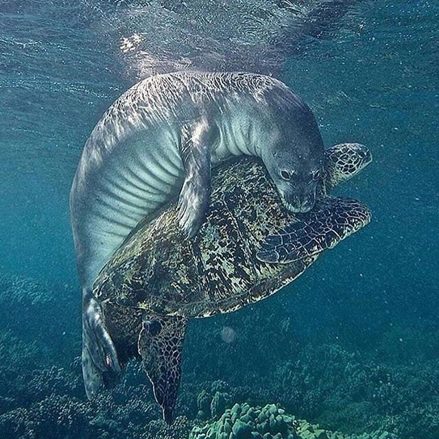 Embrace ✨ ('cause we all need one of these today) PAUSE and breathe. 🌬 Be an embodied coherent self today. That belongs to you. 💖 Reposted from @underwaterstuffs  Photo by @bjk_photovideo  #indivisibleworld #connection #intersection #interdependence #nonduality #nondualism #seal #hawaiianmonkseal #seaturtle #monkseal #greenturtle #strangefriends #supportsurvivors #ifmywoundswerevisible