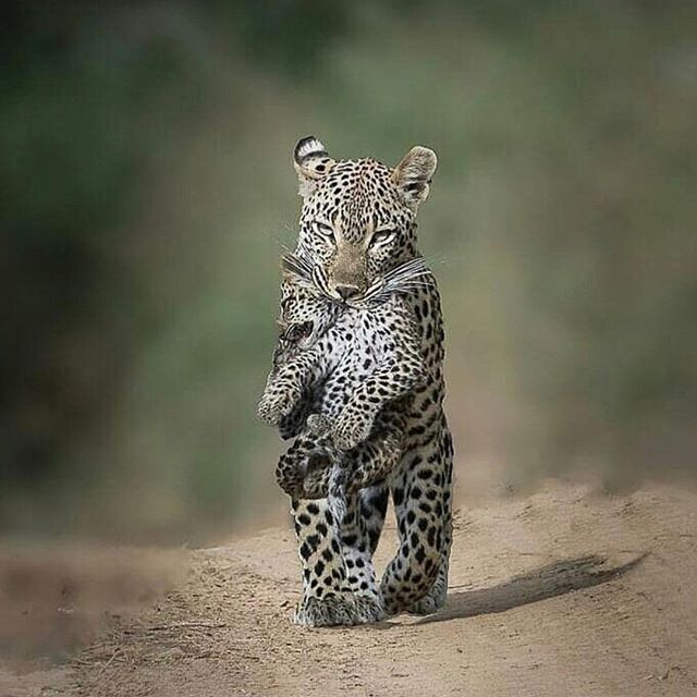 Invisible✨ Here's your Tuesday morning PAUSE moment. Enjoy the photo and share what resonates with you in the comments. 💐 Reposted from @indian.african.wildlife  Photo by @joshvdploeg  #indivisibleworld #interdependence #intersection #connection #nonduality #nondualism #leopard #bigcats #masaimara