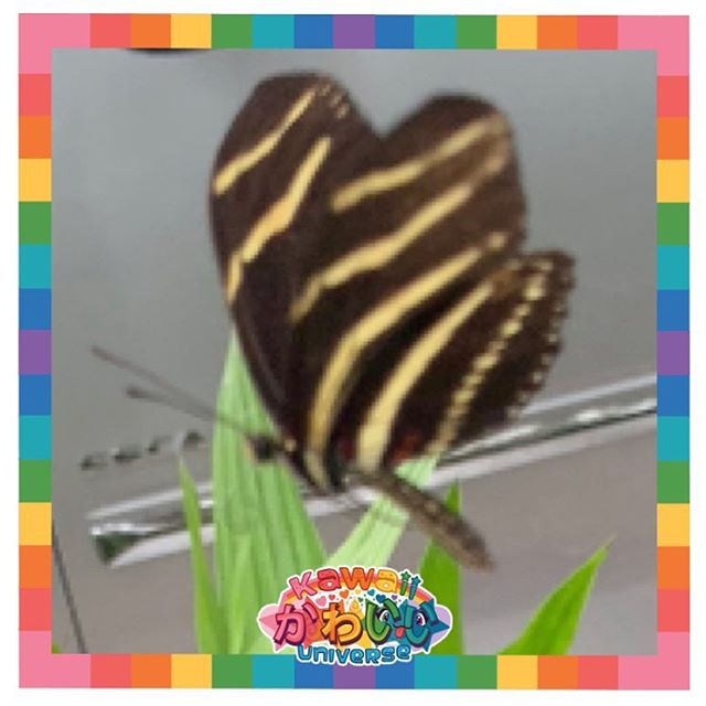 Snapped a real-life kawaii #flutterbug today Zebra Longwing butterfly in action! Try fluttering around with all the Miami butterflies in @kawaiiflutterbug new game by #kawaiiuniverse Just in time for #nationalvideogamesday its available on #appstore and #googleplay  Send us a screenshot of your score -  win #kawaii swag! #butterfly #wings