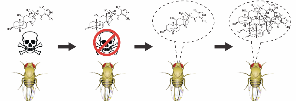 Evolving toxic flies - Evolutionary transitions underlying large-scale phenotypic change are difficult to study because they often occur over millions of years. However, the fruit fly has a short generation time and a small genome that is well annotated and cheap to sequence. We are using experimental evolution to evolve toxin-sequestering fruit flies. Evolutionary changes in the fruit fly genome, transcriptome, and physiology will generate a model of how chemical defense arises that will inform future studies in poison frogs and other organisms.